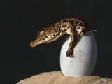 Nile Crocodile Hatchling, Crocodylus Niloticus, Okavango Delta, Botswana Impressão fotográfica por Frans Lanting