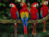 Scarlet Macaws on Branch, Ara Macao, Tambopata National Reserve, Peru Reproduction photographique par Frans Lanting