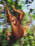 Orangutan Juvenile Swinging, Pongo Pygmaeus, Sepilok Reserve, Sabah, Borneo Fotografisk tryk af Frans Lanting