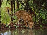 Jaguar Drinking, Panthera Onca, Belize Stampa fotografica di Frans Lanting