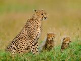 Cheetah and Cubs, Acinonyx Jubatus, Kenya Fotografie-Druck von Frans Lanting