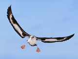 Laysan Albatross Landing, Phoebastria Immutabilis, Hawaiian Leeward Islands Reproduction photographique par Frans Lanting