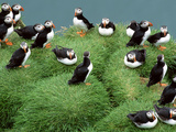 Atlantic Puffins on Grassy Cliff, Fratercula Arctica, Iceland Stampa fotografica di Frans Lanting