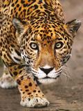 Jaguar Stalking, Panthera Onca, Belize Fotografisk trykk av Frans Lanting