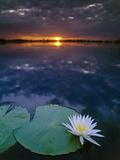 Day-Blooming Water Lily Closing at Sunset, Okavango Delta, Botswana Fotografisk tryk af Frans Lanting