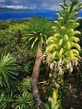 Giant Lobelia, Lobelia Gloria Montis, Lobelia Watershed Preserve, Maui, Hawaii Fotografisk tryk af Frans Lanting