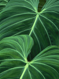 Jungle Foliage, Atlantic Forest, Brazil Fotografisk trykk av Frans Lanting