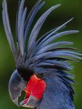 Black Palm Cockatoo, Probosciger Aterrimus Goliath, Native to New Guinea Stampa fotografica di Frans Lanting