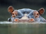 Hippopotamus Surfacing, Hippopotamus Amphibius, Garamba National Park, Congo (DRC) Photographic Print by Frans Lanting
