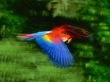 Scarlet Macaw in Flight, Ara Macao, Tambopata National Reserve, Peru Fotografie-Druck von Frans Lanting