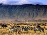 Zebras and Wildebeests Grazing, Ngorongoro Conservation Area, Tanzania Fotografie-Druck von Frans Lanting