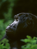 Eastern Lowland Gorilla, Gorilla Gorilla Graueri, Kahuzi Biega National Park, Congo (DRC) Fotografisk trykk av Frans Lanting