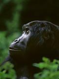 Eastern Lowland Gorilla, Gorilla Gorilla Graueri, Kahuzi Biega National Park, Congo (DRC) Photographic Print by Frans Lanting