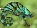 Parson's Chameleon, Calumma Parsonii, Madagascar Fotografisk tryk af Frans Lanting