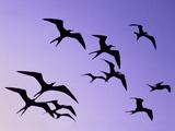 Magnificent Frigate Birds in Flight, Fregata Magnificens, Belize Reproduction photographique par Frans Lanting