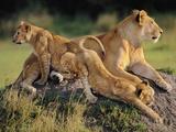 Lioness with Cubs, Panthera Leo, Masai Mara Reserve, Kenya Stampa fotografica di Frans Lanting