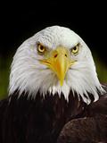 Bald Eagle, Haliaeetus Leucocephalus, California Fotografie-Druck von Frans Lanting