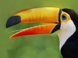 Toco Toucan, Ramphastos Toco, Pantanal, Brazil Fotografisk trykk av Frans Lanting