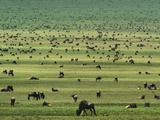 Wildebeests Grazing, Connochaetes Sp., Serengeti National Park, Tanzania Fotografisk tryk af Frans Lanting