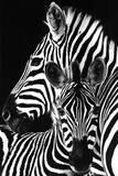 Zebra- Kunstdruck