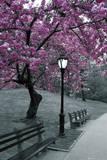 Central Park, paarse bloesem Foto