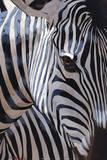 Zebra Stripes Poster by P. Charles