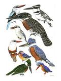 Kingfisher IV Reproduction procédé giclée par Friedhelm Weick