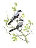 Lesser Grey Shrike Reproduction procédé giclée par Friedhelm Weick