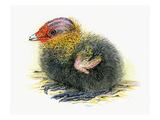 Coot Chick Reproduction procédé giclée par Friedhelm Weick