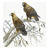 Golden Eagle Giclee Print by Friedhelm Weick