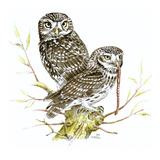 Little Owl I Reproduction procédé giclée par Friedhelm Weick