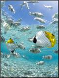 Tropical Fish in Bora-Bora Lagoon Mounted Photo by Michele Westmorland