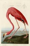 Amerikaanse flamingo Posters van John James Audubon
