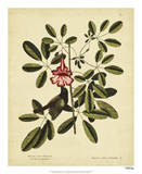 Catesby Bahama Sparrow, Pl. T37 Giclee Print by Mark Catesby