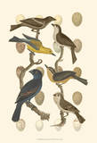 British Birds and Eggs IV Poster