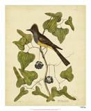 Catesby Crest. Fly-Catcher, Pl. T52 Reproduction procédé giclée par Mark Catesby