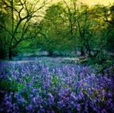 Bluebell Wood I Giclee Print by Pete Kelly