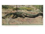 Florida - View of 19 Foot Long Alligator Giclée-Premiumdruck von  Lantern Press