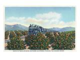 California - Santa Fe Train Passing Through Orange Groves Posters by  Lantern Press