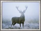 Red Deer (Cervus Elaphus) Stag at Dawn During Rut in September, UK, Europe Gerahmter Fotografie-Druck von David Tipling