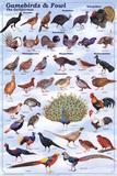 Gamebirds & Foul - The Galliformes Educational Poster Poster