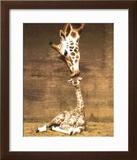 Giraffe, First Kiss Poster by Ron D'Raine