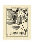 Vintage Botanical Study V Pôsters por Charles Francois Sellier