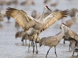Sandhill Cranes Dancing on the Platte River Near Kearney, Nebraska, USA Fotografie-Druck von Chuck Haney