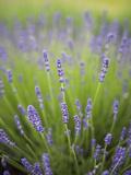 Lavender Plants, Washington, USA Reproduction photographique par Brent Bergherm