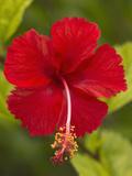 Red Hibiscus, Hibiscus Rosa-Sinensis, Belize Photographic Print by William Sutton