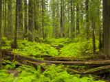 Forest Floor, Humboldt Redwood National Park, California, USA Fotografisk tryk af Cathy & Gordon Illg