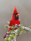 Northern Cardinal, Texas, USA Reproduction photographique par Larry Ditto