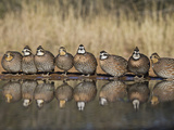 Northern Bobwhite, Texas, USA Reproduction photographique par Larry Ditto
