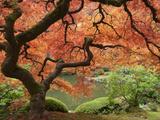 Japanese Maple, Portland Japanese Garden, Oregon, USA Sträckt kanvastryck av William Sutton